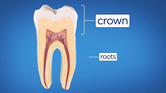 anatomy of a tooth for root canals